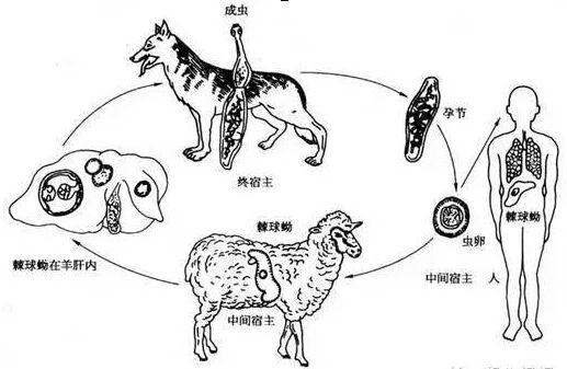绦虫原头蚴手绘图